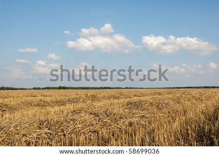 field of wheat with forest in the background