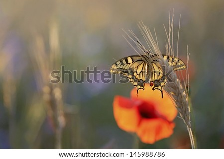 Field of whestbackground with swallowtail butterfly, poppies and cornflowers - stock photo