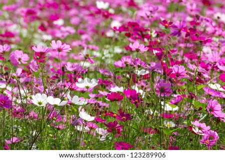Field of White and Pink cosmos flowers  in Thailand - stock photo