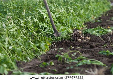 field of yang potatoes at the time digging up - stock photo