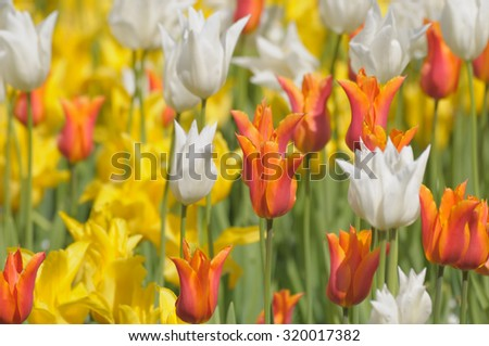 Field of yellow and white tulips in sunny day clean and detailed image - stock photo