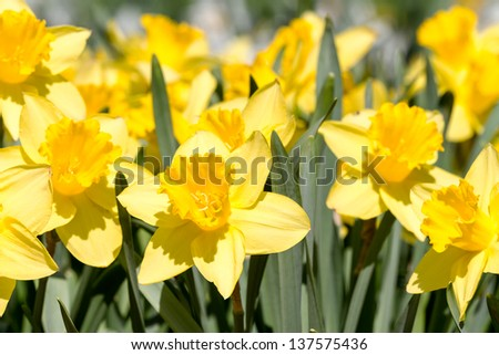 Field of yellow daffodil flowers in spring - stock photo