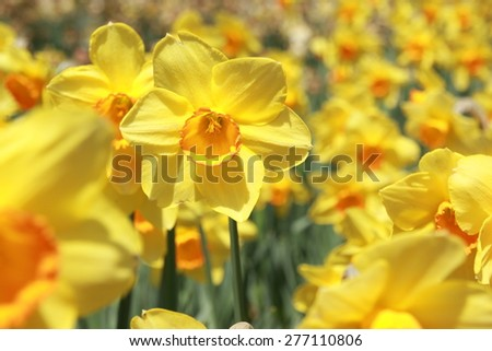 Field of yellow daffodils or yellow narcissus or suisen - stock photo