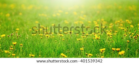 Field of yellow dandelions