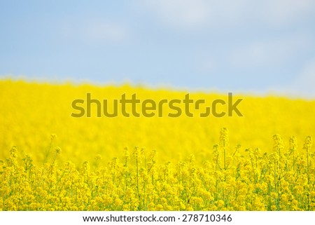 Field of Yellow Rape and Blue Sky - stock photo