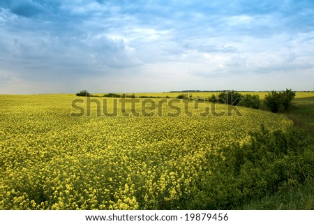 Field of yellow rapeseed flowers and blue cloudy sky - stock photo