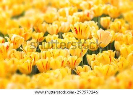 field of yellow tulips - stock photo