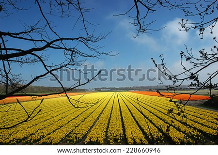 Field of yellow tulips that stretch to the horizon. - stock photo
