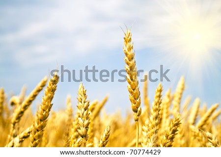field of yellow wheat and sun beams - stock photo