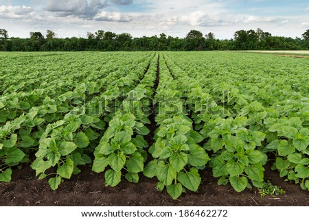 field of young green sunflower  plants - stock photo