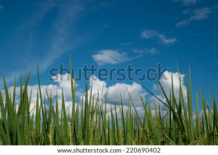 field on a background of the blue sky and paddy rice field