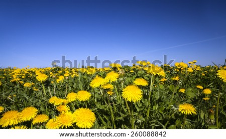 field on which grows a lot of dandelions . - stock photo