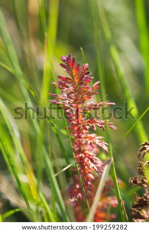 field plant red brown color of green grass
