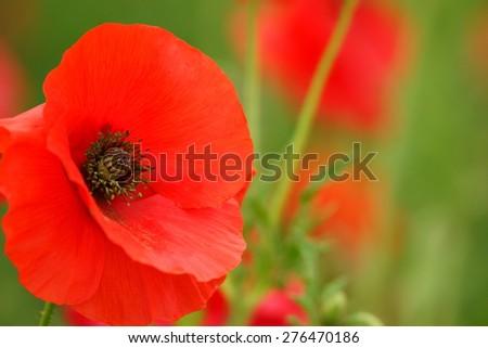 field poppy - stock photo