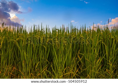 field rice close up, cornfield rice in the blue sky background w