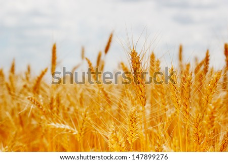 field ripe ears of wheat - stock photo