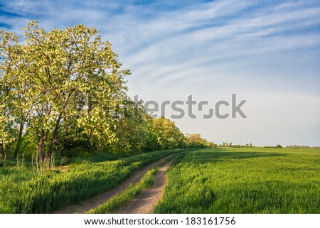 Field road among the green wheat and the blossoming  locust in the evening light