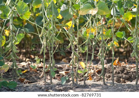 field soybeans in early autumn - stock photo