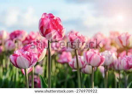 field with blooming pink tulips under a blue sky
