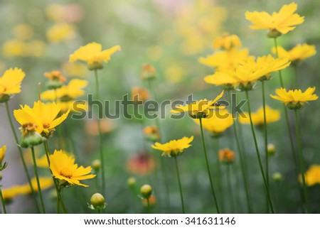 field with blooming yellow flowers - stock photo