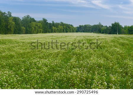 Field with blossoming buckwheat in central Ukraine