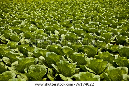 Field with cabbage. - stock photo
