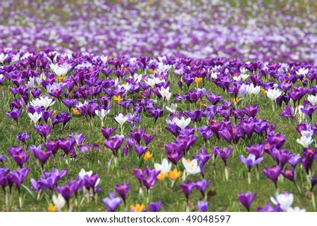 field with crocuses.