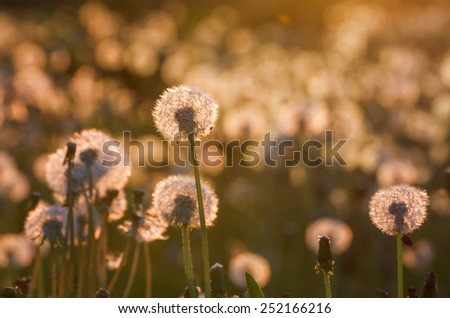 Field with fluffy dandelion flowers in the evening sun backlit - stock photo