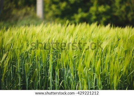 field with fresh green wheat - stock photo