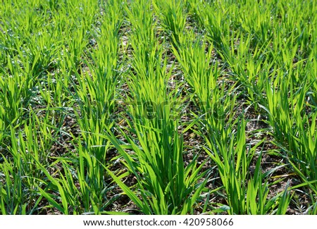 Field with fresh long green grass with dew. - stock photo