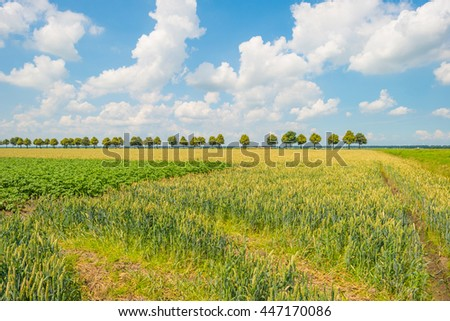Field with grain in summer