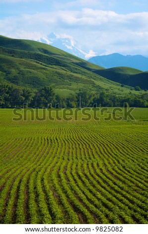 Field with green ripe wheat