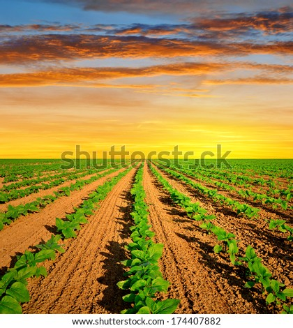 field with green sunflowers in the sunset - stock photo