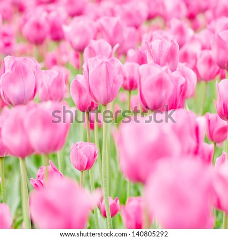 Field with many blooming pink tulips in spring