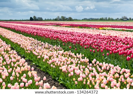 field with many colorful tulips in spring, Holland - stock photo