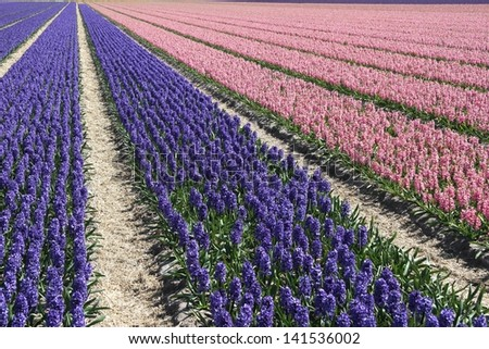 Field with pink and purple flowering hyacinths at the Keukenhof in Holland