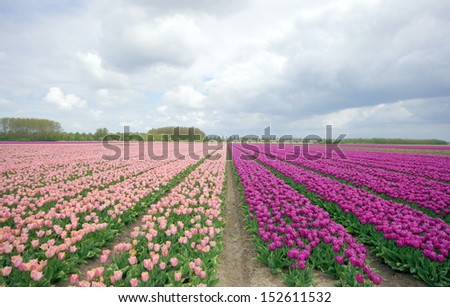 field with pink / purple tulips in Holland