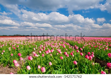 field with pink tulips and blue sky, Alkmaar, Holland - stock photo