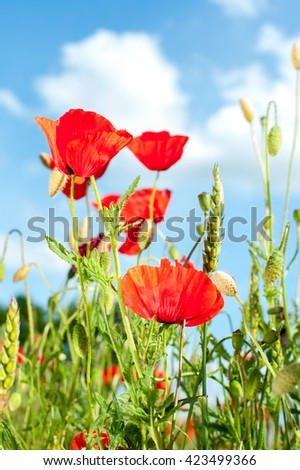 Field with red translucent poppy flowers in rays of sunlight on cloudy sky background. Multicolored summertime indoors vertical closeup image - stock photo