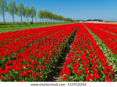 field with red tulips in the netherlands - stock photo