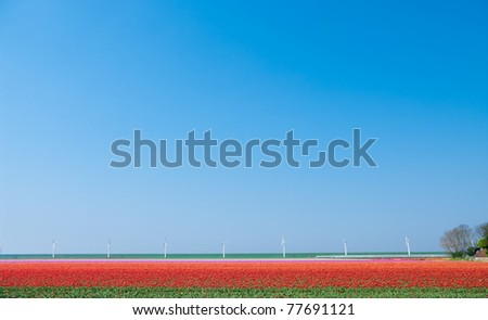 field with red tulips with wind-turbines in the background - stock photo