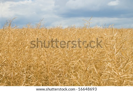 field with ripe harvest of yellow rapeseed