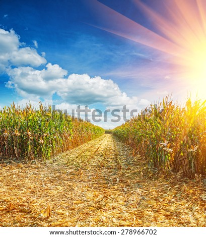 field with ripe plants of maize corn before harvesting  - stock photo