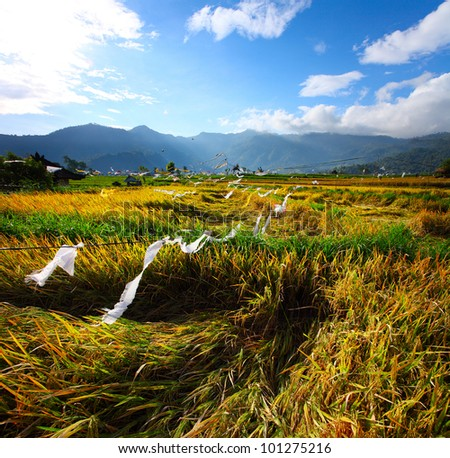 Field with ripe rice ready to crop in a valley among mountains. White ribbons is a protect against a birds. Bali, Indonesia - stock photo