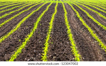 Field with rows of maiz � zea mays - stock photo