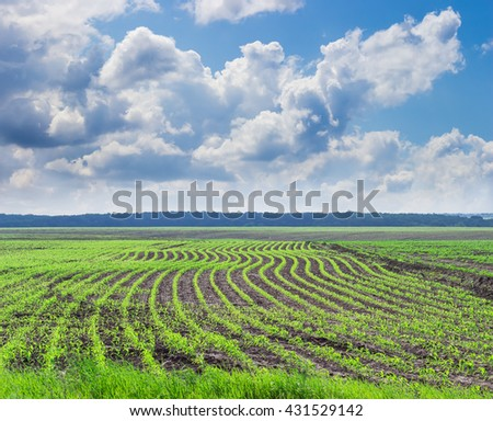 Field with rows of young stalks of maize against the sky with clouds in a spring day