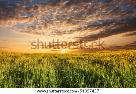 field with sprouts of rye