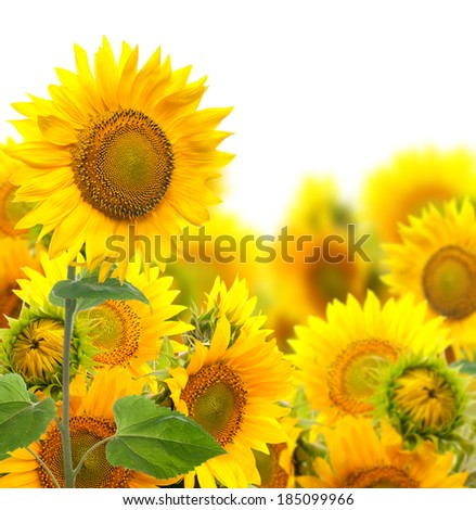 Field with sunflowers. isolation - stock photo