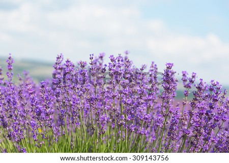 Field with the blossoming lavender in the sunny summer day - stock photo