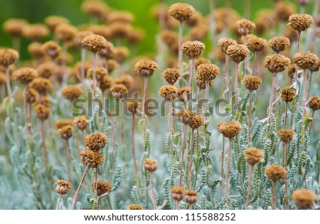 Field with wild dried santolina flowers (santolina chamaecyparissus), shot from a low position. Also called lavender cotton. - stock photo